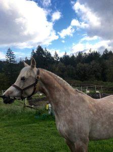Arabian horse enjoying the outdoor paddocks
